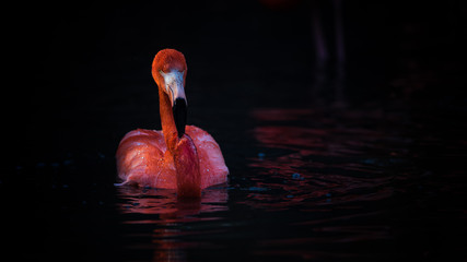 Pink flamingo floating on water