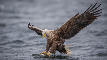 Bald eagle catching fish in water