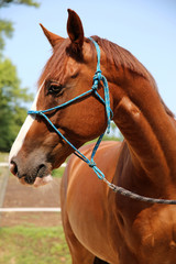 Side view portrait of young chestnut horse