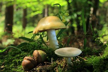 Fototapeta Żołędzie i grzyby w lesie. obraz