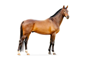 bay horse isolated on white