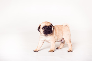 Pug puppy standing at the white background. Image isolated.
