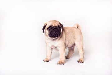 Pug puppy  standing at the white background and looking at the camera. Image isolated
