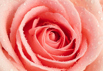 Pink rose with water drops, close up