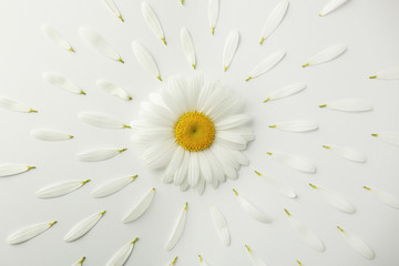 Daisy flower with petals on white background