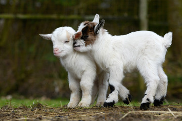 white goat kids standing on pasture