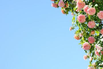 桃色のバラ  青空背景