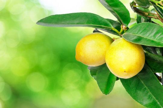 lemon tree green bokeh