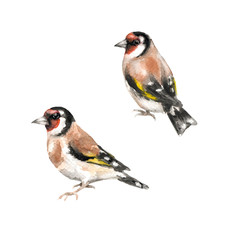 Goldfinches watercolor sketch