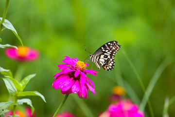 Butterfly in garden and flying to many flowers in garden, Beautiful butterfly in colorful garden or insect farm, Animal or insect life in the nature and empty area for text to support presentation.