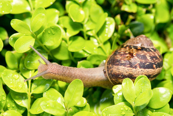 Snail moving on a garden