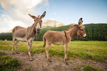 Fotobehang Ezel Two cute donkeys in Dolomites, Italy