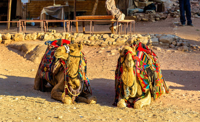Bedouin camels rest in the ancient city of Petra