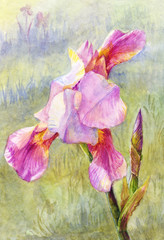 pink iris watercolor, suit for poster, wallpaper, background, po