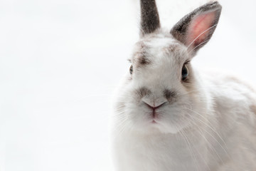 Close up of Cute Netherland Dwarf Rabbit , high key