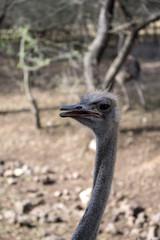 ostrich close-up. Portrait