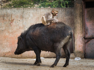 Macaque monkey riding on a pig