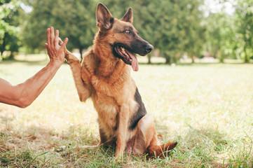 German shepherd dog giving a paw