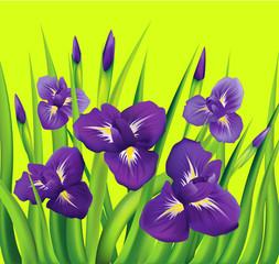 Irises flowers on green background. Vector illustration.