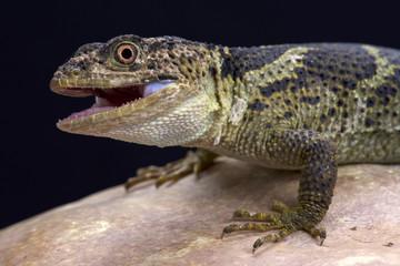 Newman's knob-scaled lizard (Xenosaurus newmanorum), Xilita, Mexico
