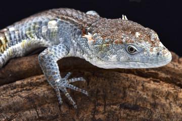 Red-lipped Arboreal Alligator Lizard  (Abronia lythrochila) , Mexico