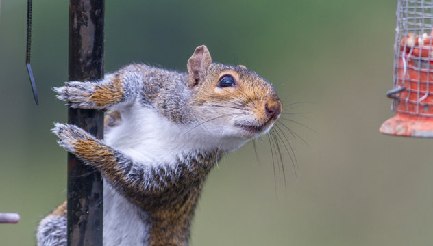 Naughty grey squirrel raiding the bird feeder