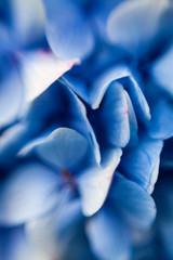 Blue hydrangea petals, close up