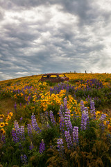 Rusty car in meadow with lupines, Columbia River Gorge, Oregon, United States of America