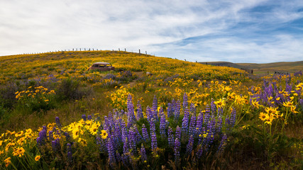 Rusty car in meadow with lupines, Columbia River Gorge, Oregon, United States of America, panoramic