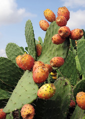 Prickly pears (Opuntia ficus-indica), also known as indian figs, opuntia, barbary figs, and cactus pears. Photo taken in Sicily where they are known as 'fico d'india'.