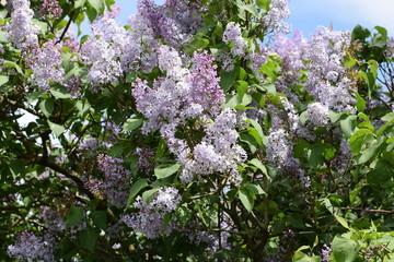 Beautiful purple lilac flowers outdoors.