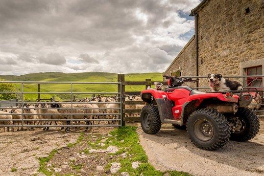 Sheepdog watching you on quad bike