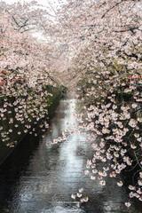 Sakura. Cherry blossom at Nakameguro Canal.