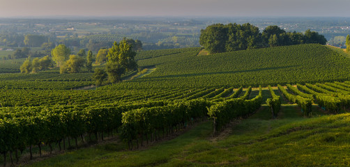 Champagne vineyards Sermiers in Marne department, France