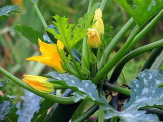 zucchiniplanze
