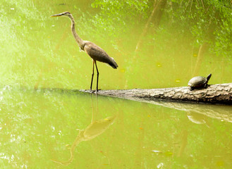 crane and turtle with reflection on still lake water