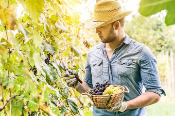 Young winemaker cutting grape twigs of biological grape