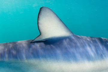 Dorsal Fin of Blue Shark Underwater