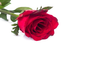 Closeup red rose color on white background, love and romantic concept, selective focus