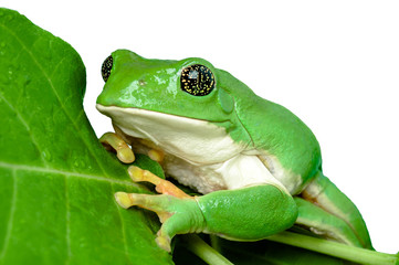 Mexican leaf frog isolated