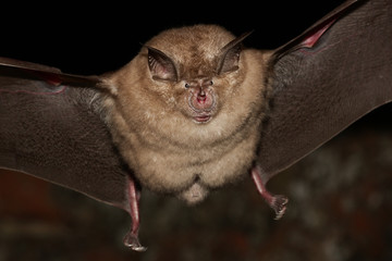 Greater horseshoe bat flight