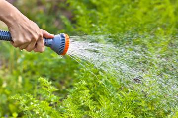 hand watering carrot in the vegetable garden