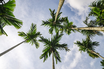 Betel palm and sky
