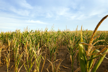 yellowing corn field