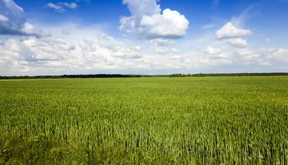 unripe green grass