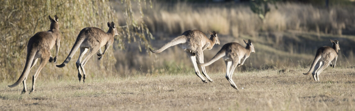 kangaroos hopping in outback, Queensland,Australia