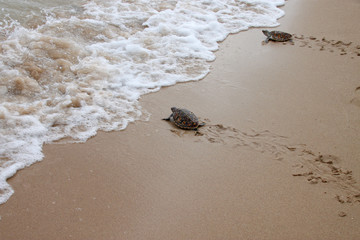 young sea turtles are crawling to the ocean