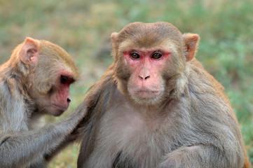 Portrait of rhesus macaque monkeys (Macaca mulatta), India.