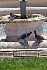 Love scene between pigeons