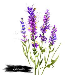 Lavandula or lavender watercolor